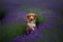 De Retriever van de de eendtol van hondnova scotia in lavendel Huisdier in de zomer op de aard in kleuren royalty-vrije stock afbeeldingen