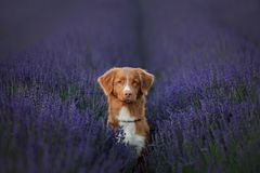De Retriever van de de eendtol van hondnova scotia op lavendelgebied stock fotografie
