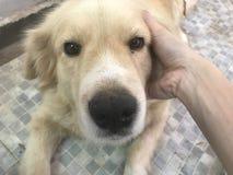 De retrieverhond van de huisdierenzorg royalty-vrije stock afbeelding