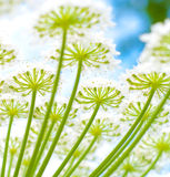 De reus hogweed stock foto