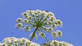 De reus hogweed en vliegende insecten, Holland stock footage