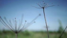 De reus hogweed op een gebied stock videobeelden