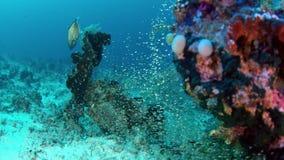 De reus jaagt trevally glasvissen, langzame motie, Indonesië stock videobeelden