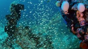 De reus jaagt trevally glasvissen, langzame motie, Indonesië stock footage
