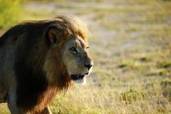De reusachtige Mannelijke Leeuw van Kalahari stock afbeelding