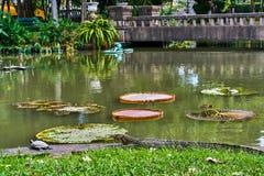 De reusachtige monitorhagedis jaagt op schildpad dichtbij Victoria Amazonica stock afbeeldingen