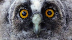 De reusachtige spiegel gele ogen van de uil onderzoeken de afstand, sterft zij Sluit omhoog stock video
