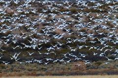 De reusachtige troep van witte sneeuwganzen neemt vlucht in Bosque del Apache stock foto's