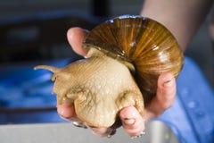 De reuze Afrikaanse Slakken van het Land Stock Fotografie