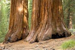 De reuze Bomen van de Californische sequoia Royalty-vrije Stock Foto's