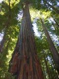 De reuze bomen van de Californische sequoia stock foto's