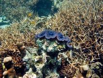 De reuze Habitat van het Tweekleppige schelpdier Stock Fotografie