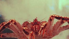 De reuze Japanse gevangene van de spinkrab in aquarium stock footage