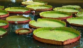 De reuze lelies doorbladert in de vijver. Royalty-vrije Stock Foto's