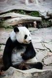 De reuze panda draagt Royalty-vrije Stock Fotografie