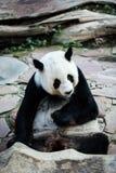 De reuze panda draagt Royalty-vrije Stock Afbeelding