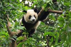 De reuze panda draagt in boom