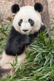 De reuze panda geniet van etend bamboe Stock Foto