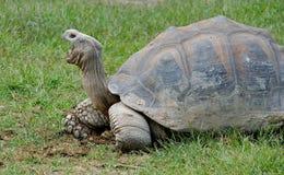 De reuze Schildpad van de Galapagos Stock Foto's