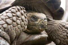 De reuze Schildpad van de Galapagos Stock Afbeeldingen