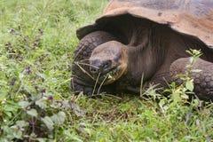 De reuze schildpad van de Galapagos, elephantopus Geochelone Stock Afbeeldingen
