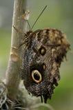 De reuze vlinder van de Uil Stock Afbeeldingen