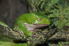 De reuze Wasachtige kikker van de Aapboom (tweekleurige Phyllomedus) Stock Afbeeldingen