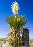 De reuze Yucca van de Dolk Royalty-vrije Stock Foto