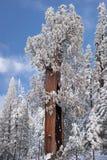 De reuzeBoom van de Sequoia die in sneeuw wordt behandeld Stock Fotografie