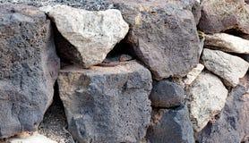 De Reuzehagedis van Gran Canaria royalty-vrije stock afbeelding