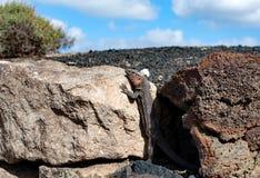 De Reuzehagedis van Gran Canaria royalty-vrije stock fotografie