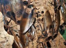 De reuzeholkakkerlak van Centraal-Amerika stock afbeeldingen