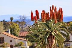 De reuzeopdracht Santa Barbara California van Barberae van het Boomaloë royalty-vrije stock fotografie