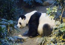 De reuzepanda de witte Panda Royalty-vrije Stock Afbeeldingen