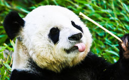 Panda die bamboe eten Stock Foto