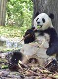 De reuzepandazitting onder de boom om bamboespruiten te eten! Stock Afbeeldingen