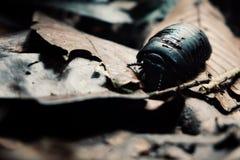 De reuzepillenduizendpoot alias Sphaerotheriida een hard shell insect loopt over de bosvloer stock fotografie