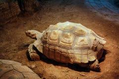 De reuzeschildpad Stock Foto's
