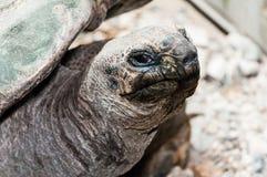 de reuzeschildpad let op Stock Afbeelding