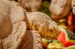 De ReuzeSchildpad van Aldabra (Aldabrachelys Gigantea) stock foto's