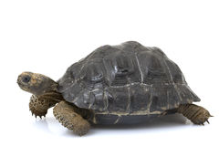 De ReuzeSchildpad van de Galapagos Stock Afbeelding