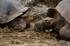 De reuzeschildpad van de Galapagos (Chelonoidis-nigra) Stock Foto