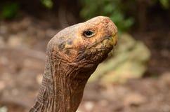 De reuzeschildpad van de Galapagos (Chelonoidis-nigra) Royalty-vrije Stock Fotografie