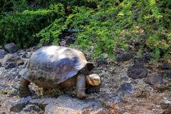 De reuzeschildpad van de Galapagos in Charles Darwin Research Station op S stock afbeeldingen