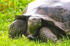 De reuzeschildpad van de Galapagos op Santa Cruz Island in de Galapagos Natio royalty-vrije stock fotografie