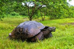 De reuzeschildpad van de Galapagos op Santa Cruz Island in de Galapagos Natio stock foto's