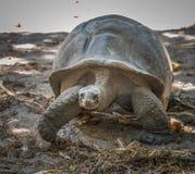De ReuzeSchildpad van Seychellen Stock Fotografie