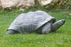 De ReuzeSchildpadden van Aldabra Stock Afbeeldingen