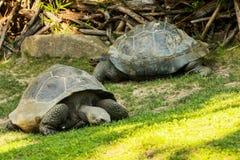 De reuzeschildpadden van Seychellen (Aldabrachelys-gigantea) Royalty-vrije Stock Afbeeldingen