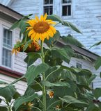 De reuzezonnebloem in bloei stock fotografie